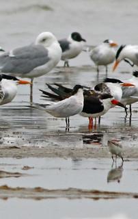 Sandwich Tern, Black Skimmer, Royal Tern