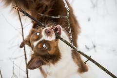 Late snow (ea.leclercq) Tags: aussie australian shepherd dog snow landscape march spring cold nature forest