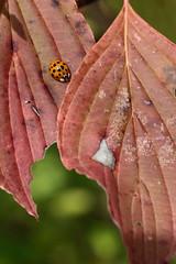 The Ladybug And The Dogwood (peterkelly) Tags: digital canon 6d ontarionature caledon ontario canada northamerica willoughbynaturereserve fall autumn ladybug leaf red green dogwood beetle
