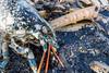IMG_0360 (Adrian Royle) Tags: lincolnshire skegness gibraltarpointnnr nature wildlife marine beach shellfish crabs urchin lobster starfish nikon macro