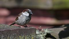 Spatz (karinrogmann) Tags: haussperling spatz sparrow passero
