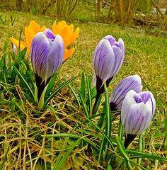 Happy weekend! (fleckchen) Tags: krokusse krokus crocus frühling frühlingsblumen frühlingsblüher frühjahrsblüher frühjahrsblumen frühblüher springtime spring natur garten