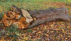 tree trunk #2 (nazirshahid65) Tags: tree trunk caon750d efs1855mm