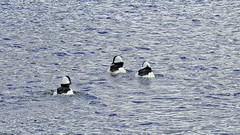 A Trio (robinlamb1) Tags: nature outdoor animal bird duck bufflehead bucephalaalbeola drake water milllake abbotsford