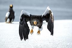 wordless conversation (mentsuru) Tags: ngc bird eagle steller sea animal wildlife