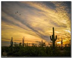 Sunset near Phoenix, Arizona (Ken Mickel) Tags: arizona cacti cactus clouds cloudy desert estrellla goodyeararizona kenmickelphotography landscape landscapedesert outdoors plants saguaro sunsets backlighting backlit nature photography goodyear unitedstates us