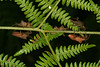 Rassemblement de Coreus marginatus. (chug14) Tags: unlimitedphotos animalia arthropoda hexapoda insecta hemiptera heteroptera coreidae coreinae coreini coreusmarginé punaise cimexmarginatus coreusmarginatus