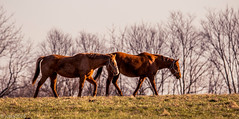 Horses of Kentucky (JuanJ) Tags: nikon d850 lightroom art bokeh nature lens light landscape white green red black pink sky people portrait location architecture building city iphone iphoneography square squareformat instagramapp shot awesome supershot beauty cute new flickr amazing photo photograph fav favorite favs picture me explore interestingness wedding party family travel friend friends vacation beach horse farm grass animal kentucky bluegrass fayette county 2018 march thoroughbred