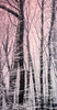 Blush of Dawn II (Susan Maxwell Schmidt) Tags: blushofdawnii peacefulforest woodlandsunrise snowywoods snowcoveredtrees sceniclandscape pinksky morninglight rusticsnowfall susanmaxwellschmidt beautifulscenery winterscene selectivecolor branch branches limb trunk bark bough blackandwhite rose blushpink rosaline peach gray grey grayscale nature natural botanical rural cottagechic country countryside boonies backwoods outdoor quiet zen tranquil calm relaxing earthy flora grove tall narrow long portrait big large huge gift