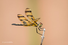 Halloween Pennant 500_8193.jpg (Mobile Lynn) Tags: nature pennant dragonfly insects celithemis fauna insect wildlife ochopee florida unitedstates us coth specanimal coth5 ngc npc