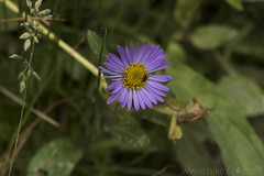 "Aster • <a style=""font-size:0.8em;"" href=""http://www.flickr.com/photos/63501323@N07/27424398328/"" target=""_blank"">View on Flickr</a>"