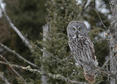 Great Gray Owl...#3 (Guy Lichter Photography - 3.7M views Thank you) Tags: canon 5d3 canada manitoba wildlife animals birds owls greatgrayowl