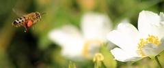 A new start (ᙢᗩᖇᓰᗩ ☼ Xᕮᘉ〇Ụ) Tags: honeybee honigbiene μελισσα αγριολουλουδο στιγμεσ ανοιξη wildflowers wildeblumen momente moments insect insekt macro canoneos11ood bokeh spring life frühling leben luft air μελισσαμεγυρη bienemitpollen nature natur φυση beewithpollen animal work arbeit beauty details λεπτομερειεσ χρονιαπολλα salbeiblättrigezistrose cistussalviifolius sageleavedcistus whiterockrose φυτο χλωριδα αγριοφασκομηλια ασπροκουνουκλα βοτανο