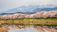 Snow, cherry blossoms, river (Tom Hanawa) Tags: