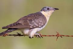Detalles de un críalo (sergio estevez) Tags: aves bokeh color campodegibraltar fauna críalo kenko15x luz lajanda oxido posadero pajaro sergioestevez