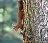 DSC_7970_00001 (Karantez vro) Tags: red squirrel scotland ecosse schottland rotes eichhornchen ecureuil rouge