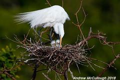 Great Egret Nest with Tiny Chicks (Let there be light (Andy)) Tags: birds texas texasbirds egret nesting chicks smithoaks smithoaksrookery highisland houstonaudubon highislandtexas rookery