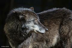 Wolf - 06041813 (Klaus Kehrls) Tags: wolf tier natur raubtier portrait zoo