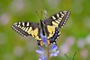 Papilio machaon (jotneb) Tags: lepidoptera papilionidae nature butterfly borboletas insectos insects vidaselvagem arlivre