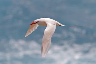 Red-tailed Tropicbird / Koa'e 'ula (Phaethon rubricauda)