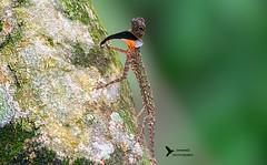 Black-bearded Flying Lizard (Kafoor Sammil) Tags: draco melanopogon flyinglizard blackbearded agamid endemic