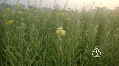 সরিষা ফুল (ajijulbari) Tags: mustard flower field nature fog village abclickx