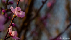 Spring colors in the morning (Milen Mladenov) Tags: 2018 resco blooming blossom bokeh detail floral flower flowers garden light macro morninglight nature naturephotography peach peachblossom pink plant spring tree