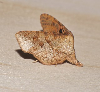 Flasher moth Mellea sp aff ordinaria Rhodoneurini Siculodinae Thyrididae Airlie Beach rainforest P1240191