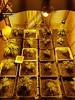 Operación SINARAS (guardiacivilzaragoza) Tags: marihuana indoor plantación cannabis sátiva investigado cultivo elaboración drogas estupefacientes delito