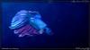 halfmoon betta (kelvinj_funlab) Tags: kelvinjong funlab d810 nikon tamron90mmf28spdimacro11vcusd tamron macro kenko singapore handheld indoor aquarium
