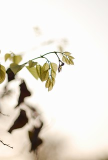 High key backlit leaves