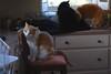 Otis found the spotlight (2 of 2) (rootcrop54) Tags: otis dilute orange tabby male cat multiple cats batman tuxedo jimmy orangetabby neko macska kedi 猫 kočka kissa γάτα köttur kucing gatto 고양이 kaķis katė katt katze katzen kot кошка mačka gatos maček kitteh chat ネコ