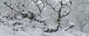 Jungle Flurry (http://www.richardfoxphotography.com) Tags: wistmansswood dartmoornationalpark dartmoorlandscape snow woodland stuntedoakwoodland twobridges nowy snowflurry blizzard panorama landscape outdoors sky