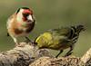 Tarin des aulnes et chardonneret. (guy.westrelin) Tags: oiseau arbre tarin des aulnes chardonneret
