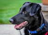 Is That A Piece of Grass on My Nose? (jtrainphoto) Tags: dog dogportrait blackdog rescue bixby