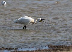 DSC_3426 (Adrian Royle) Tags: lincolnshire framptonmarsh rspb nature wildlife bird heron spoonbill nikon