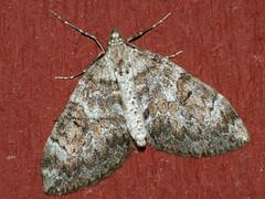 Thera variata - Spruce carpet - Ларенция хвойная изменчивая (Cossus) Tags: 2009 geometridae larentiinae thera пестово пяденица