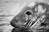 NZ Seal-B&W 3-0 F LR 2-20-18 J256 (sunspotimages) Tags: seal seals wildlife nature zoos zoosofnorthamerica zoo nationalzoo fonz fonz2018 monochrome blackwhite blackandwhite bw