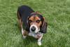 Bronco looking (Puddin Tain) Tags: virginiabeach beagle grass tricolorbeagle tricolor