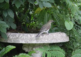 Bird bath in my backyard (olive backed oriole)