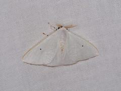 Arctornis sp. (dhobern) Tags: 2018 china lepidoptera march xtbg xishuangbanna yunnan erebidae lymantriinae arctornithini arctornis