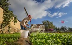 feeding (Albert Photo) Tags: water vegetable field old woman lady rural rustic folk watering