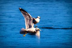 pyma afternoon snack (david_sharo) Tags: nature wildlife gulls pymatuming
