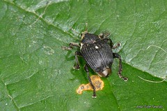 Mononychus punctumalbum Herbst, 1784 (Jesús Tizón Taracido) Tags: insecta coleoptera polyphaga cucujiformia curculionoidea curculionidae ceutorhynchinae mononychuspunctumalbum