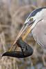 Heron 100% Crop (eric-d at gmx.net) Tags: greyheron eric