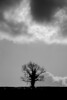 Silhouetted oak tree (Quercus sp.) against powerful sky (Ian Redding) Tags: outline hedgerow spring silhouetted quercus tree british bw uk single hedge landscape winter climate old weather somerset clouds branches oaktree oak silhouette emotive ivy dark flora sky mature farming farmland blackandwhite powerful britain bath