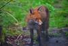 Wildlife @ NW6 (mr fox) (Adam Swaine) Tags: fox urban wildlife gardens london nw6 canon animals british britain england english naturelovers nature uk cities redfox