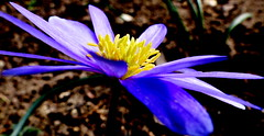Niebieski kwiat. (andrzejskałuba) Tags: polska poland pieszyce dolnyśląsk silesia sudety europe panasoniclumixfz200 roślina plant kwiat flower natura nature niebieski blue zieleń green garden ogród żółty yellow macro