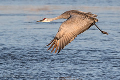 Sandhill_Cranes-34 (Beverly Houwing) Tags: nebraska sandhillcranes plattriver migration spring birds conservation cranetrust sanctuary protected takeoff fly flight grey gray unitedstates midwest