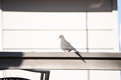 Mourning Dove (Neil DeMaster) Tags: banpesticides conservation conservenature conservewildlife keeppubliclandpublic keepourairclean nature naturephotography pawildlife panature outdoor outdoorphotography wildlife wildlifephotography protectwildlife protectourenvironment protectnature bird pabird mourningdove dove
